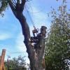 EN arborist plockar ned lönnen bit för bit